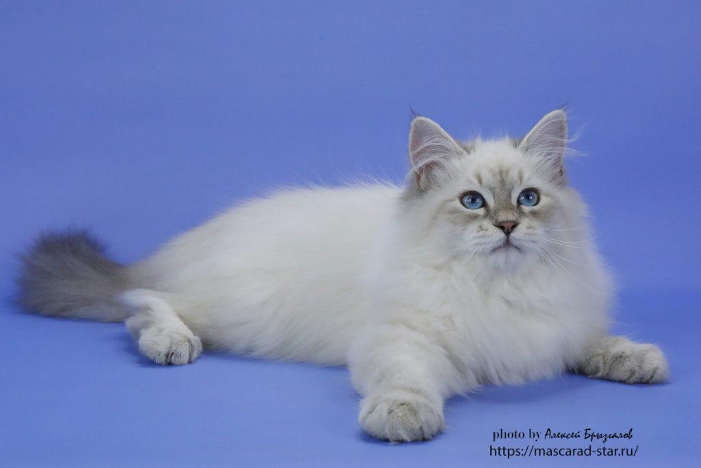 Невский маскарадный котенок фото 30.05.2021
