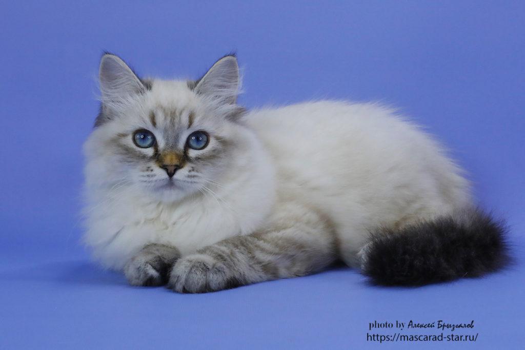 Невская маскарадная кошка Фото 25.05.2021