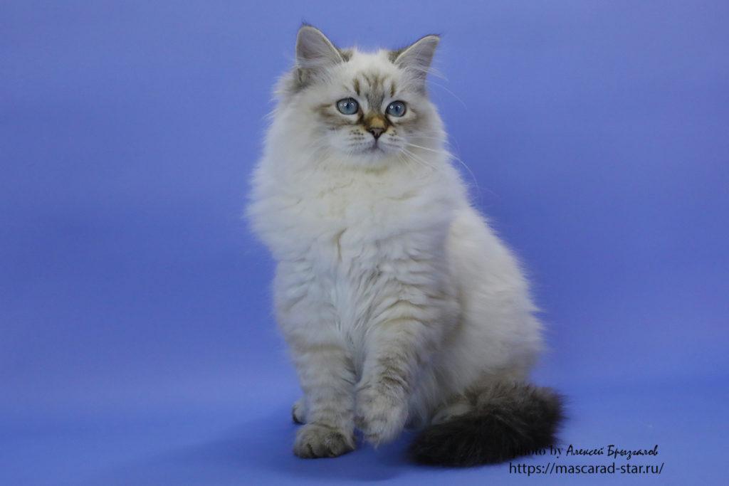 Невский маскарадный кот Фото 25.05.2021