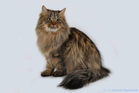 Сибирская кошка фото