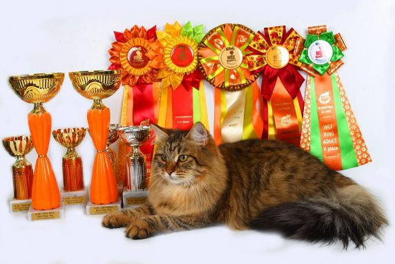 Сибирская кошка полосатого окраса фото